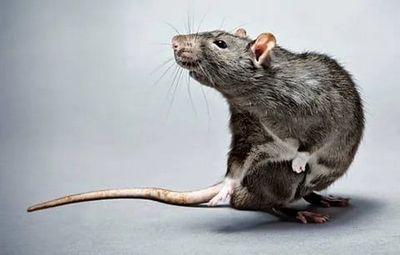 Дератизация – уничтожение мышей и крыс Котельники